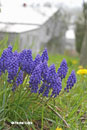 Grape hyacinths Muscari